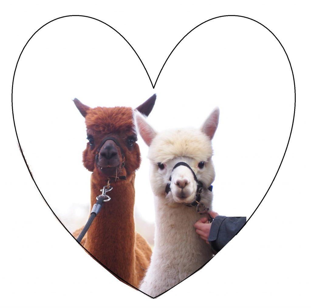 Hochzeit mit Alpakas